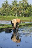 Planting Rice. A farmer wearing a conical hat, planting rice, near Ubud. Bali, Indonesia Stock Image