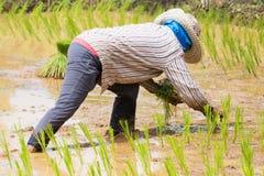 Planting Rice Royalty Free Stock Image