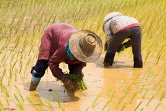 Planting Rice Stock Photography