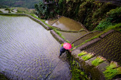 Planting rice at Banaue Rice Terraces, Philippines. Farmer in red umbrella planting rice during rainy season at Banaue Rice Terraces, Philippines. 2017 Stock Photos