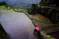 Planting rice at Banaue Rice Terraces, Philippines. Farmer in red umbrella planting rice during rainy season at Banaue Rice Terraces, Philippines. 2017 Stock Photography