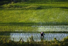 Planting Rice on a Beautiful Bali Morning in the Village of Sidemen. stock photos