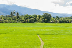 Planting rice in the farm Stock Images