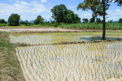 Planting rice in the farm. Royalty Free Stock Photos