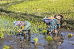 Planting rice Stock Image