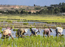 Planting rice Royalty Free Stock Photography