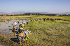 Planting rice Stock Images