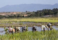 Planting rice Stock Photos