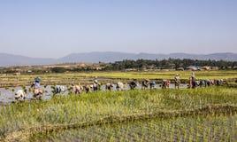 Planting rice Stock Photo