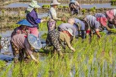 Planting rice Royalty Free Stock Photos