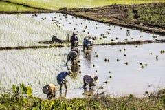 Planting rice Royalty Free Stock Photo