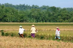 Planting rice in indonesia Royalty Free Stock Image