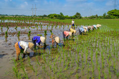 Planting rice Royalty Free Stock Images