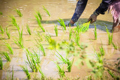 Planting Rice Paddies Royalty Free Stock Image