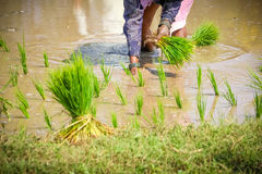 Planting Rice Paddies. Indian women Planting Rice Paddies in field royalty free stock image
