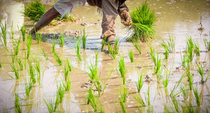 Planting Rice Paddies Royalty Free Stock Photography