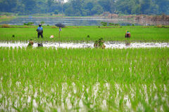 Planting rice seedlings Stock Images