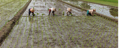 Planting rice seedlings. How to grow rice is very unique and appealing to the eye or immortalized their curry compact or should be together in plugging paddy Royalty Free Stock Photos