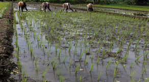 Planting rice seedlings. How to grow rice is very unique and appealing to the eye or immortalized their curry compact or should be together in plugging paddy Stock Images