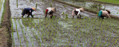Planting rice seedlings Stock Image