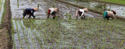 Planting rice seedlings Stock Image