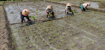 Planting rice seedlings Stock Photo