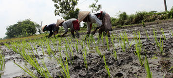 Planting rice seedlings Stock Photos