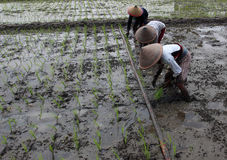 Planting rice seedlings Royalty Free Stock Photos