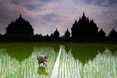 Old Woman Planting Rice In Front Of Plaosan Temple Royalty Free Stock Image