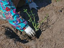 Planting rose Stock Images