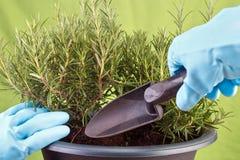 Planting rosemary. Herb into pot ( Rosmarinus officinalis stock image