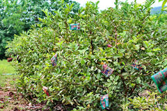 Planting row and took the wrapper grown Guava KimJu  fruit. Royalty Free Stock Photos