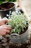 Planting sage Royalty Free Stock Image