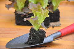 Planting salad Royalty Free Stock Image