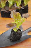 Planting salad Stock Photos