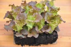 Planting salad Royalty Free Stock Photo