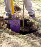 Planting sapling tree. In the early spring or autumn time with spade stock photos