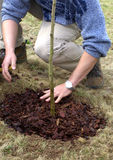 Planting sapling tree. Inner bark after planting sapling tree in the early spring or autumn time with spade stock photography