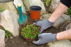 Planting a saxifraga bryoides Royalty Free Stock Image