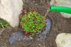 Planting a saxifraga bryoides Stock Photos
