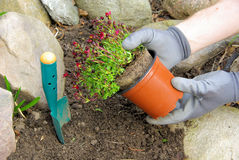 Planting a saxifraga bryoides Royalty Free Stock Photos