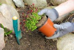 Planting a saxifraga bryoides Royalty Free Stock Photos