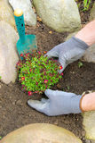 Planting a saxifraga bryoides Stock Images
