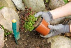 Planting a saxifraga bryoides Stock Photography