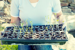 Planting season. Closeup of a person holding tray with seedlings Stock Images