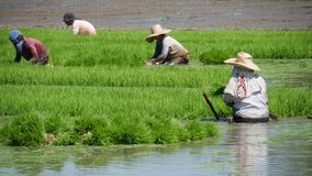 Planting season. Workers toil in the ricefields to get everything ready for the planting season Stock Images