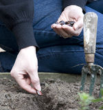 Planting seed Stock Photography