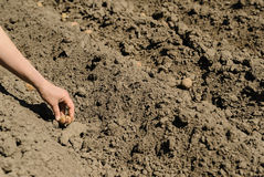 Planting seed potatoes. Stock Image