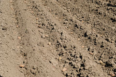 Planting seed potatoes. Royalty Free Stock Photography