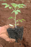Planting a seedling Royalty Free Stock Image